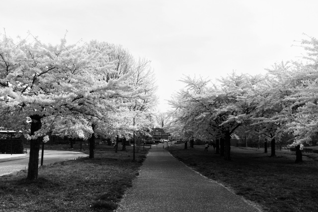 White blossom trees