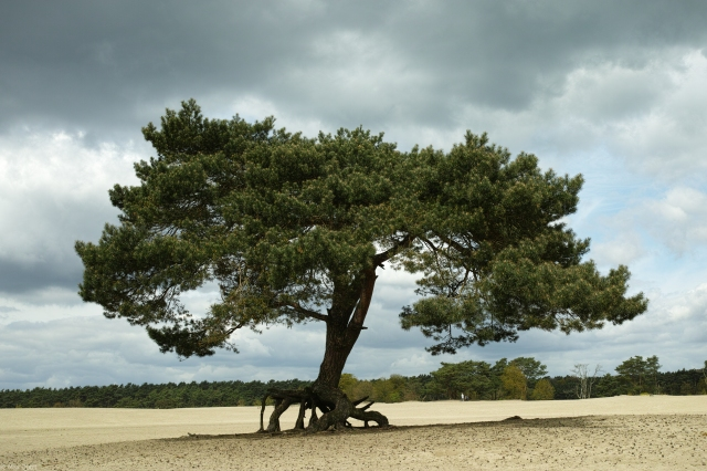 Vliegden (Pine Tree)